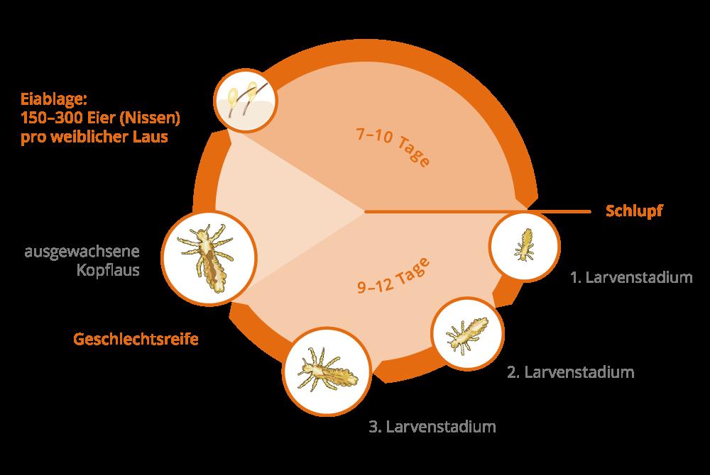 kopflaus-lebenszyklus